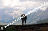 Mucca sull'Altipiano dello Sciliar in Alto Adige (Foto: R. Jakubowski).